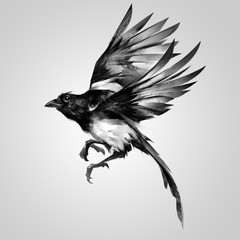isolated painted realistic sketch magpie in flight