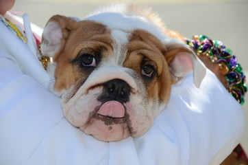 Dog in arms at Mardi Gras Parade