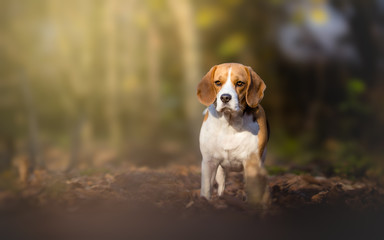 Beagle dog in the forest