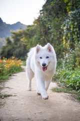 Running a samoyed dog in the countryside