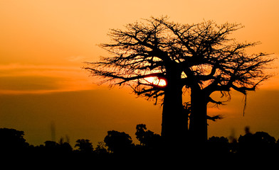 Door stickers Baobab sunset baobab Africa