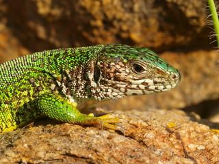 Smaragdeidechse, Lacerta Viridis, lacerta bilineata
