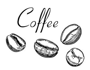 Painted coffee beans, sketch, vector drawing. Coffee beans sketch style isolated on white background. Retro style vector illustration poster.
