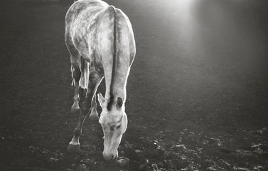 Black and white portrait of a horse. Monochrome portrait of a white horse. White horse on a dark background.