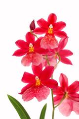 Burragerara Orchidee