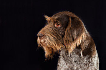 Portrait of breed Drathaar dog on a black background in profile