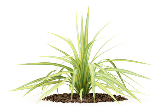 yellow yucca plant isolated on white background