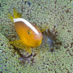 Skunk anemonefish, Amphiprion akallopisos, hiding in host sea anemone, Komodo Island, Indonesia, Indo-Pacific.