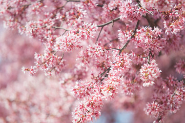 Blooming branches of Kwanzan Cherry tree