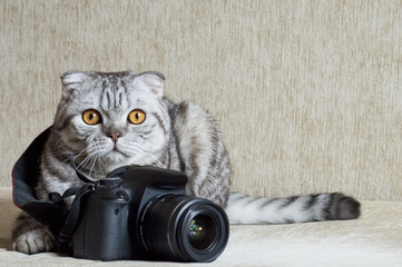 gray tabby is studying camera