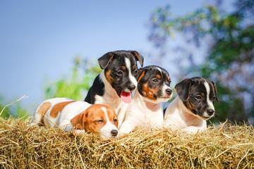 Vier niedliche Hundewelpen auf einen Strohballen im Sonnenschein