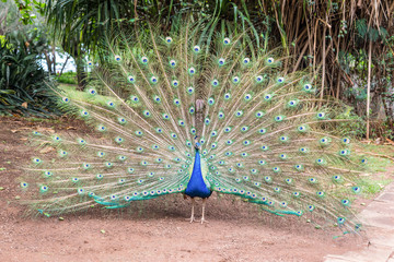 Male indian peacock (Pavo cristatus) with opened tail