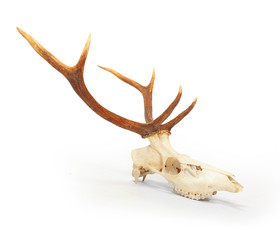 The red deer (Cervus elaphus) skull with antlers on white background. Hunting trophy prepared for exhibition.