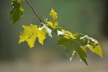 Sycamore Leaves Look Like Maple Leaves