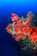 Colorful pink and orange soft corals on a deep coral reef wall