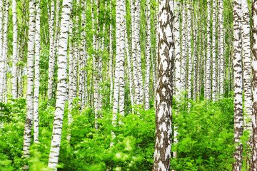 Wall Murals Forest summer in sunny birch forest