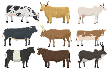 Set of bulls and cows farm animal cattle mammal nature beef agriculture and domestic rural bovine horned cartoon buffalo character vector illustration.