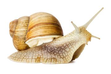 Garden snail isolated on white.