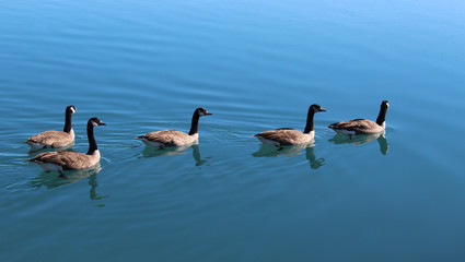 Family of geese swimming on the lake (Kanadagans am See)
