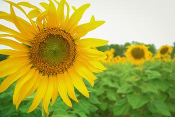 sunflower in the garden.