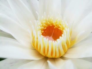 Close up picture of lotus pollen.