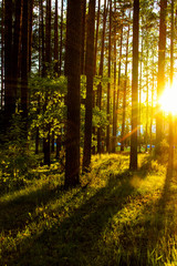 forest landscape, trees in sunlight, the trunks of the trees, sunset in the forest