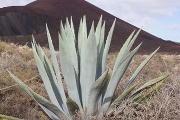 One big blue agave plant rock desert, Islote de Lobos, Canarias, Spain