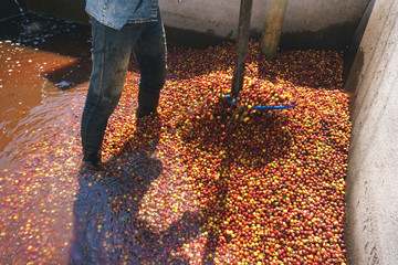 Red berries coffee bean process in factory