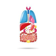 Cartoon bright internal organs set on the white background. Lungs, heart, kidneys, liver, intestines, bladder, pancreas and gall bladder.
