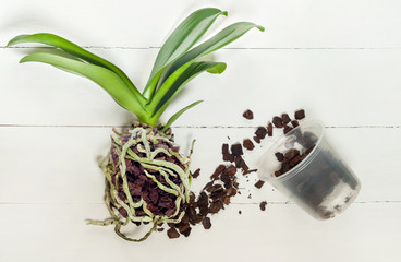 Orchid phalaenopsis planting, soil, root and moss on wooden background