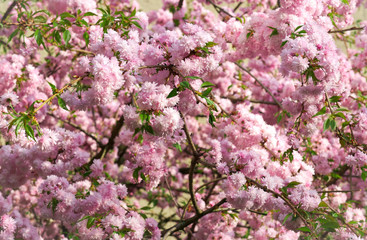 Spring blooming pink flowers on tree, nature background