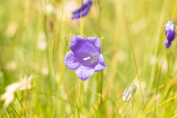 Violet Gentian flowers in the Alpine meadow at summer spring sunlight