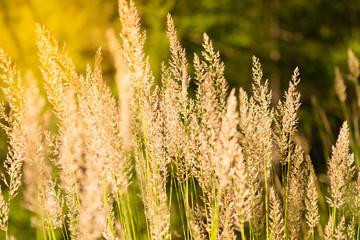 Golden spring spica plants at sunset light. Summer / spring nature background