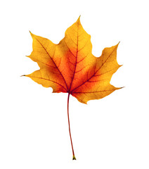 colorful autumn maple leaf isolated on white
