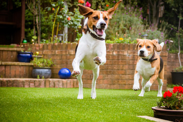 Beagles having fun running