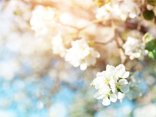 Wall Mural - blurred apple tree background. Spring flowers on beautiful sunny day