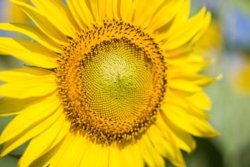 Sunflower,  Sunflower facing the sun.  Bright yellow sunflower   Lopburi  , Thailand