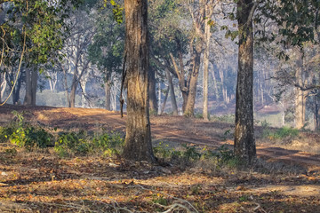 Typical forest landscape on a hazy morning, Kanha National Park, India