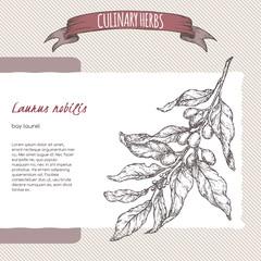 Laurus nobilis aka bay laurel vector sketch. Culinary herbs collection.