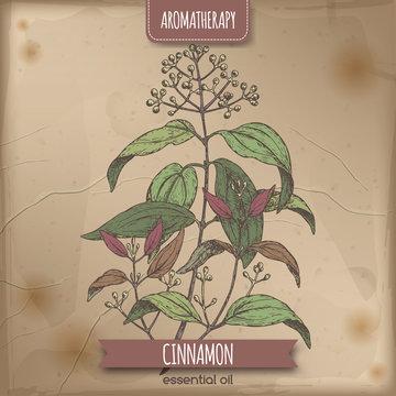 Cinnamomum verum aka cinnamon vintage color sketch.