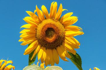 lush sunflower, blue sky