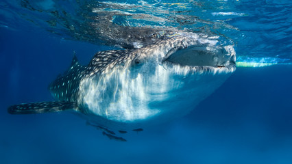 Whale Shark, mouth open feeding at the surface
