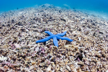 Poster Under water A single blue starfish on a dead coral reef. This reef was destroyed by a strong typhoon several years ago and has not regrown.