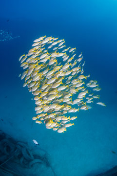 Yellow tailed snapper near a small undersea wreck