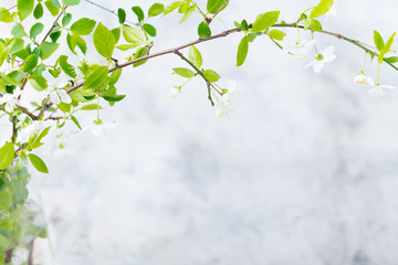 Cherry branch with fresh young leaves and flowers. Grey stone background. Copy space