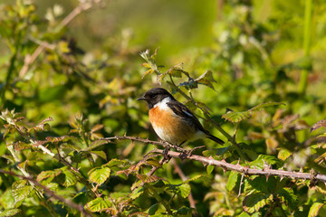 Stonechat sitting on a branch with thorns surrounded by green bush