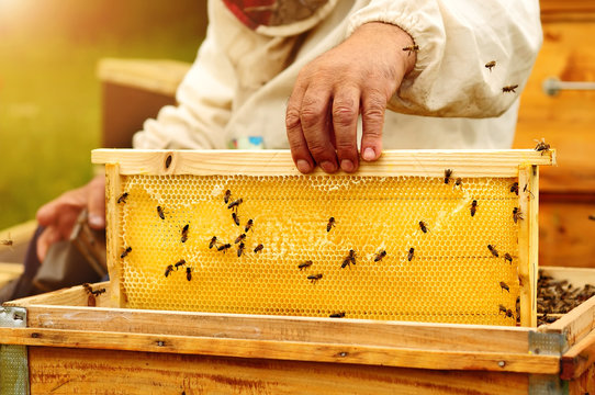 Beekeeper inspects honey comb with bees. Apiculture.