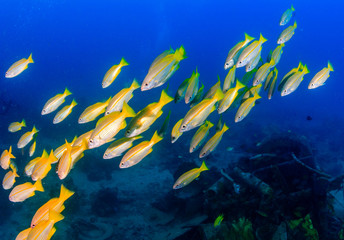 Shoal of Snapper over an underwater wreck