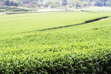 Green tea plantation on mountain