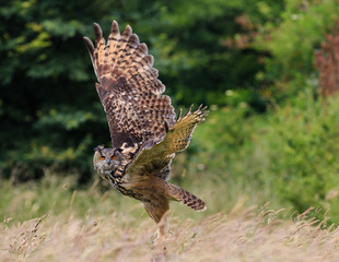 European Eagle Owl flying over a grass meadow